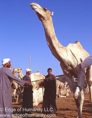 Handlers - Birqash Camel Market, Egypt.