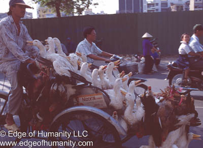 Man transporting ducks and chickens in a tricycle cart - Vietnam.
