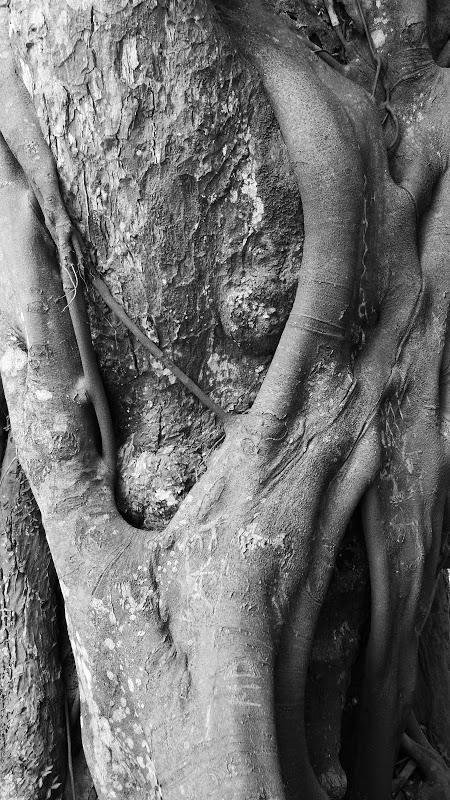 Ficus Pilosa