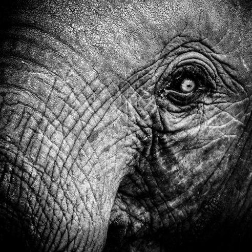 Elephant - Tanzania