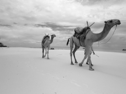 A Somali looks for joyride clients for his camels, Diani Beach