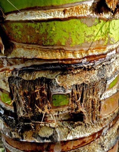 Banana trunk  Selangor Malaysia