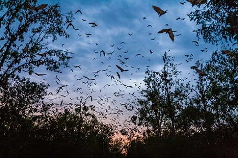 100,000 Little Reds: 100,000 Little Red Flying-foxes return to roost as the sun rises over the tiny outback town of Duaringa. A keystone species of Australia, flying foxes play an ecologically paramount role in the region as forest pollinators. Naturally nomadic, Little Reds follow the flowering eucalypt as it seasonally blossoms across Australia.