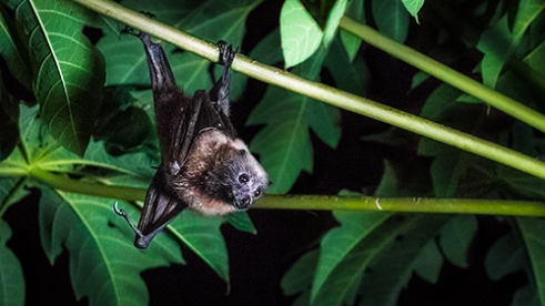 Beka Sigasiga: The only mammal capable of true flight, a 'Beka Sigasiga' (Known as 'Samoan Flying-fox' in English) hangs from the branch of a pawpaw tree as it surreptitiously approaches the fruit. Clearly visible along the branches are the claw marks of numerous bats who visit this tree regularly. In Fiji, Flying-foxes are considered a delicacy.