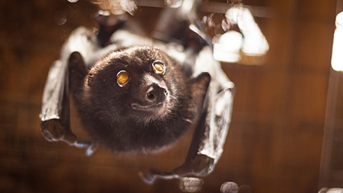Blind Bella: Left sightless from a car accident, Blind Bella is a black Flying-fox who works at the Australian Bat Clinic as a full-time surrogate mother. Though she will never fly again, Bella is not euthanised because she actively raises 2-3 orphaned baby bats each year. Often incorrectly assumed blind, Flying-foxes have better eyesight than a human during the day and a cat at night.
