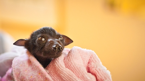 "Isabella: Meet Isabella, a 2 week old Flying-fox who was found tangled in fruit netting with her dead mother. ""Now, the only savior of Australian bushland is the countries most hated creature..."""