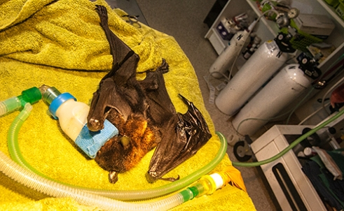"""Sedated: Found tangled in fruit netting, this black Flying-fox is sedated for surgery. Once unconscious, Trish will snip away an infected area of the animal's torn wing """"A lucky Flying-fox will be rescued, an even luckier one will fly again"""" says Trish Wimberley."""