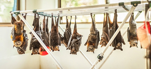 "Washing Line: 4 unique species of Injured Flying-foxes, 2 of which are threatened, hang alongside one another like tattered clothes along a single washing line. With a plethora of ailments like missing eyes, severed limbs and bullet-torn wings, these bats will recover in the safety of ABC for multiple weeks until they are able to be released back into the wild. ""A lucky bat will be rescued. An even luckier one may fly again."""