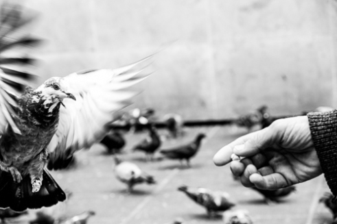 Gisueppe takes care of every single pigeon.