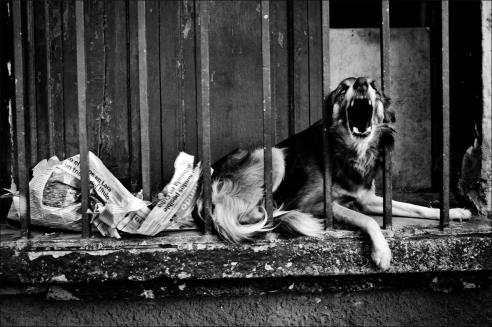 Bravo danger dog Caracas, Venezuela
