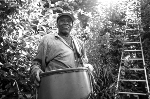 A Haitian farm worker stops for a moment before climbing the ladder to harvest apples on this Upstate NY farm.