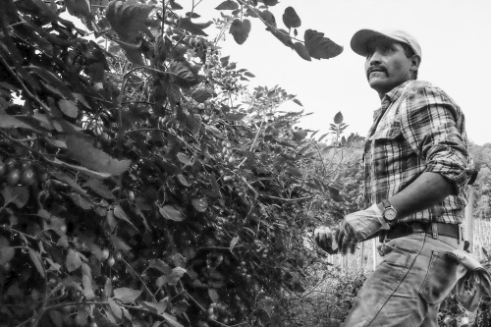 The harvest is nearing an end for some produce as this Mexican farm-worker picks the end of season cherry tomatoes.