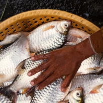 Hand on Fish - Fish seller gesturing to a buyer about the freshness of her fish.