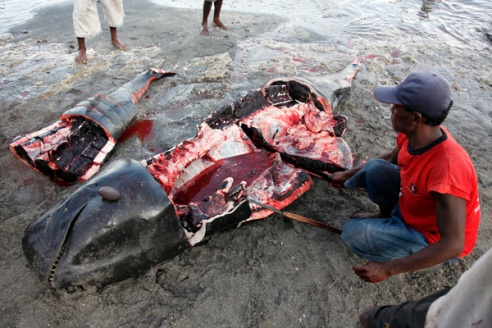Two pilot whales are brought to the beach having been harpooned at sea. The meat is carefully cut in to pieces for distributing to the community, each person getting a specific part.