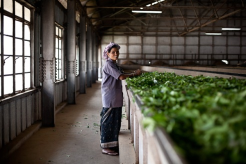 Lalitha, a factory worker sorts the freshly dried leaves in one of the many large drying troughs. Unlike the field work, which is dominated by women, the manufacturing process employs both males and females on an equal wage structure introduced by Kerala state law.