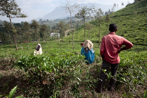 A male field watcher oversees the work of the women tea puckers, weighing in the sacks of leaf both late morning and evening before collection to ensure the women are meeting their daily quota.