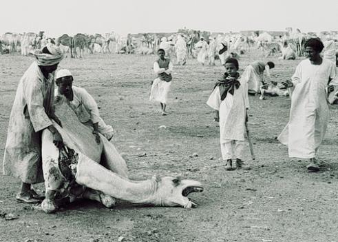 Camel Slaughter Tamboul Desert livestock market Sudan