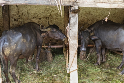 Livestock that farmer Dilli Ram Regmi and his family tend to in Sirubari, rural Nepal.