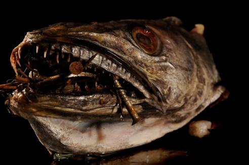 Photographie couleur prise à l'horizontale en studio. Il s'agit d'une tête de merlu ayant dans sa gueule, des épingles. Le tout sur un fond noir. Cette image dénonce les problèmes et les conséquences des métaux lourds sur l'environnement, en particulier sur les espèces maritimes.