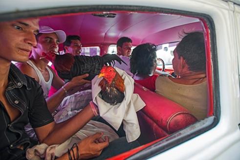 Cock Fighting is still very popular in Cuba, it's a grey area like many things in Cuba.