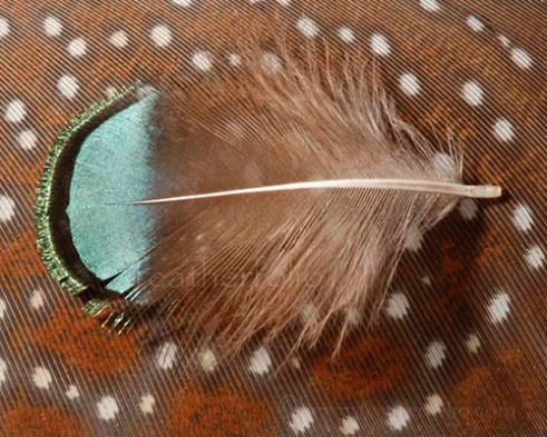 Lady Amherst Pheasant (Chrysolophus amherstiae) neck body feather resting on a wing feather from a Crested Argus (Rheinardia ocellata)