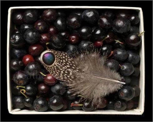 Grey peacock pheasant feather & huckleberries