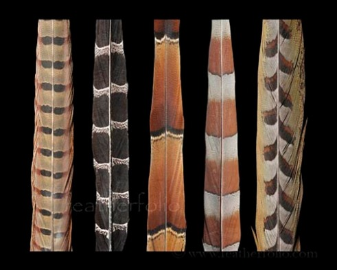 Mikado Copper Elliots pheasant feather
