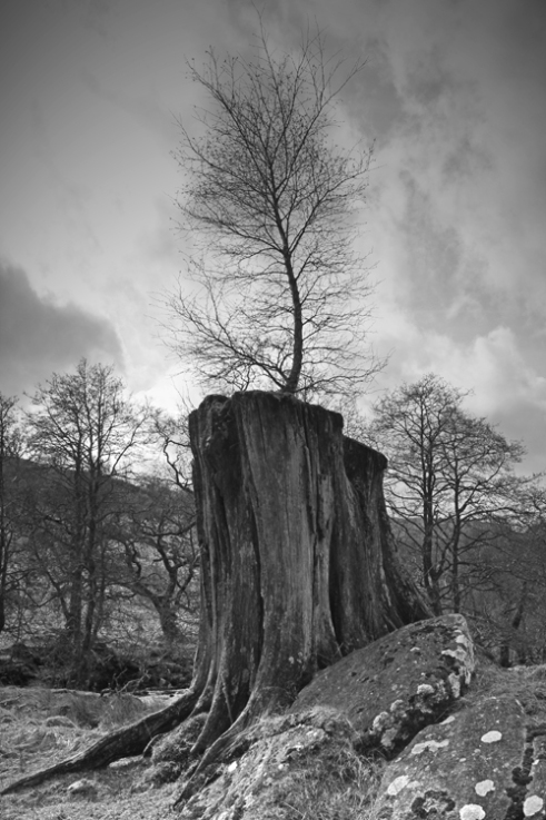 'New life from old'. Out of reach of sheep, this Silver Birch grows on the stump of an old Oak tree at Innishchoaraig, Glen Lochay, Perthshire, Scotland.