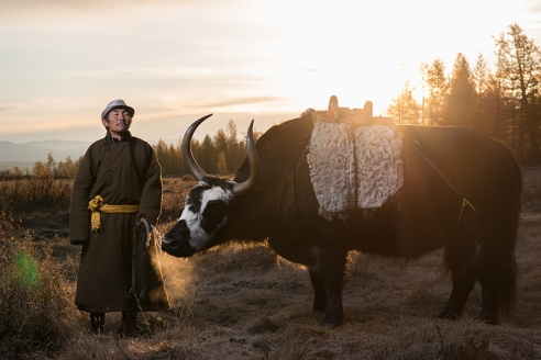 """THE GUIDE WITH AN OX Lkhagvasuren Battur (59), a guide, poses with an ox which he borrowed from his friend to carry tourists' baggage, in East Taiga, Mongolia on September 19, 2015. He mostly rely on horses to carry tourists and their baggage but sometimes use oxen for heavier loads. During our three days in East Taiga, the ox in this picture and one of the guide's horses disappeared from the campsite. Each time this happened he jumped on his other horse and embarked a search which took several hours to bring them back. """"How did you know where to find them in this vast mountainous area?"""" I asked. """"I look for animals' footprints,"""" he replied. """"They always try to go home because they feel comfortable being with sheep and other animals that they see everyday"""". """"Do you get angry at them every time they disappear?"""" I was curious. """"Not angry"""" he replied. """"When they disappear, it's a human fault; either I didn't tie the rope properly or it was old and torn off. It's not their fault."""""""