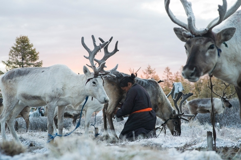 MILKING REINDEER Ganbat Punsul (43) milks her reindeer at sunrise before her husband, Ganbat Tsendee (45), takes them to a forest for foraging in East Taiga, Mongolia on September 18. 2015. The family are members of the Tsaatan ethnic minority. Reindeer milk makes up an important part of the Tsaatan diet and reindeer's antlers are used to make hand-crafts.