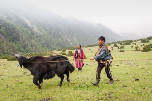 A reluctant yak is dragged towards its annual hair cut.