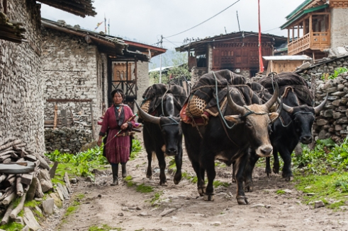 The Brokpa way of life hasn't changed in centuries, but with the introduction of the first road, will they continue to rely on their yak as much as they have in the past?