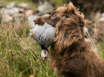 Spaniel with a Partridge