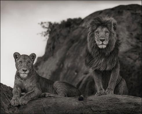 LION COUPLE SERENGETI 2010