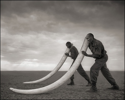 TWO RANGERS SUPPORTING THE TUSKS OF ELEPHANT KILLED AT THE HANDS OF MAN, AMBOSELI 2011