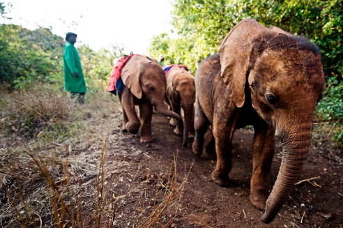 Juvenile elephants, orphaned by poaching, return to shelter for the night. David Sheldrick Elephant Orhpanage, Nairobi, Kenya.