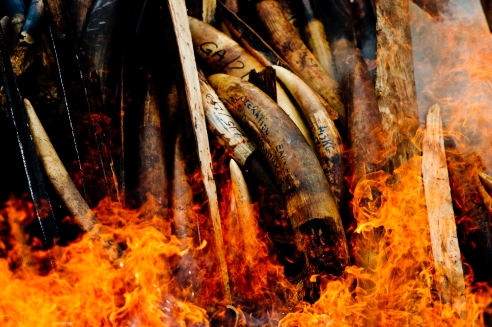 On 27th July, Gabon's president, Ali Bongo Ondimba, ordered the country's entire stockpile of Ivory, about 10 million dollars worth to be burnt, symbolising Gabon's antipoaching stance and determination to combat the illegal trade. Libreville, Gabon.