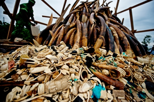 On 27th July, Gabon's president, Ali Bongo Ondimba, ordered the country's entire stockpile of Ivory, about 10 million dollars worth to be burnt, symbolising Gabon's antipoaching stance and determination to combat the illegal trade.