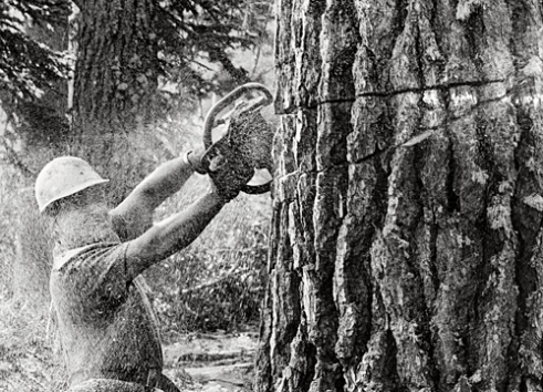 Jake Gregg - is a timber faller. In this picture he is cutting one of two trees that have, over time, grown together. Normally they cut the tree off as close to the ground as possible so they do not waste the tree, but in this case he has to cut above where the two trees have grown apart. McCloud area of Northern California 1987