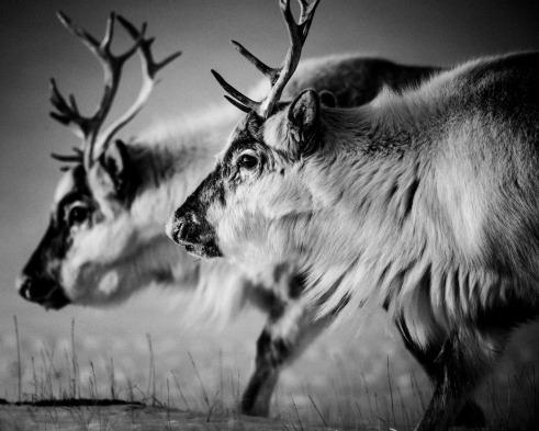 Reindeers Svalbard