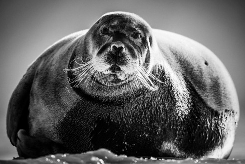 Seal Svalbard