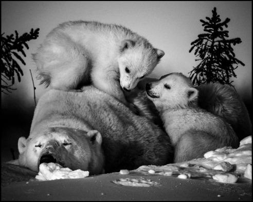 Polar bear with cubs Manitoba, Canada