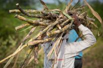 Migrant Sugar Cane Project