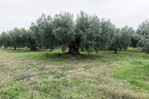Ancient Olive V