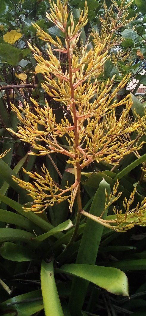 3' HIGH YELLOW Bromeliad Aechmea