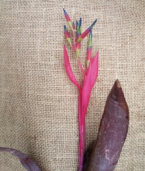 Bromeliad Billbergia