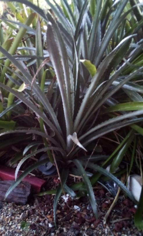 SHARP HUGE Bromeliad Hechtia Argentea