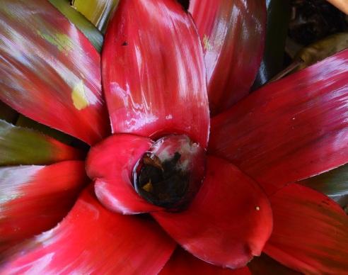 1'WIDE Bromeliad Neoregelia